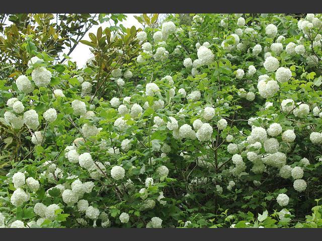 viburnum opulus 39 roseum 39 snowball tree adoxaceae images. Black Bedroom Furniture Sets. Home Design Ideas