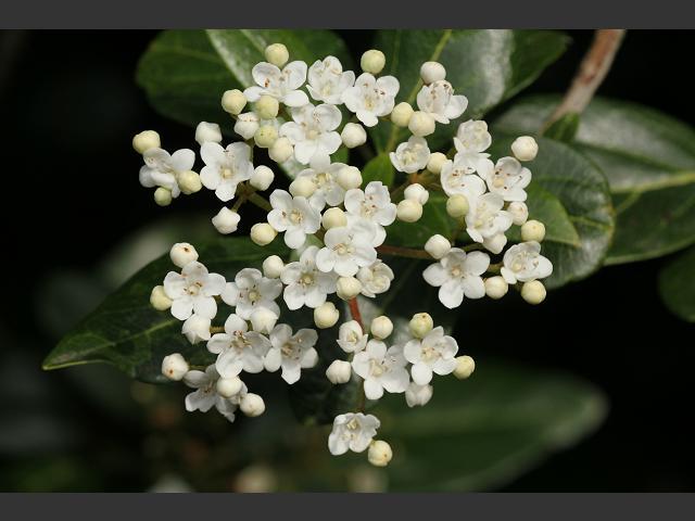 Viburnum tinus laurustinus adoxaceae images viburnum tinus laurustinus adoxaceae images mightylinksfo