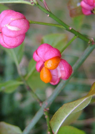 Celastraceae Spindle Family