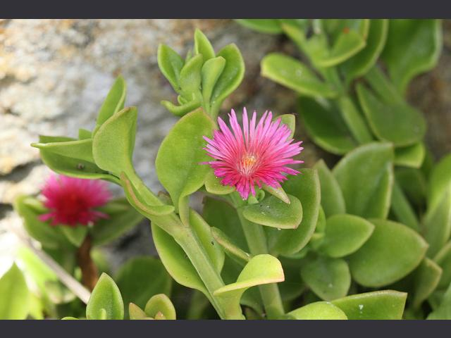 Aptenia cordifolia Heart leaf Iceplant or Baby Sun Rose Aizoaceae Images