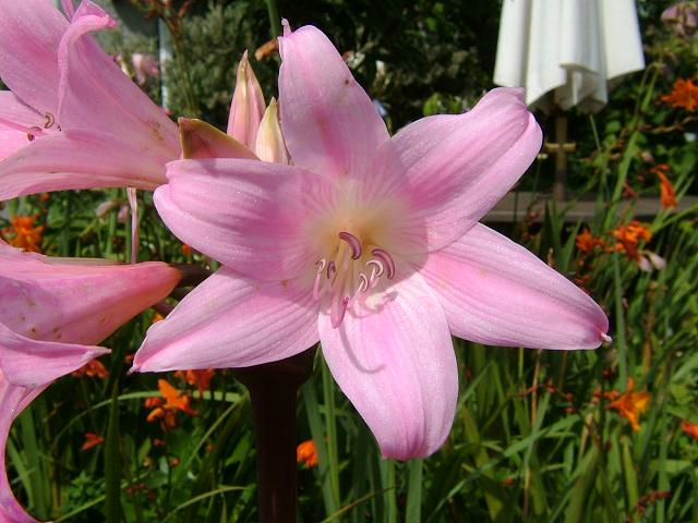 Jersey Lily Purpurea Major Jersey Lily