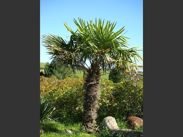 trachycarpus fortunei chusan palm arecaceae images. Black Bedroom Furniture Sets. Home Design Ideas