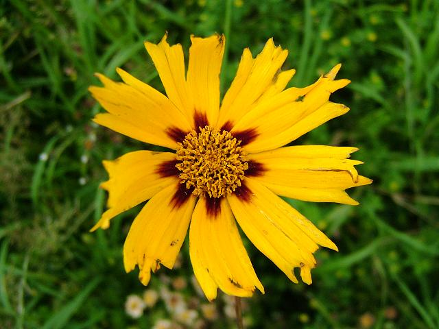 Coreopsis grandiflora Large flowered Tickseed Asteraceae Images