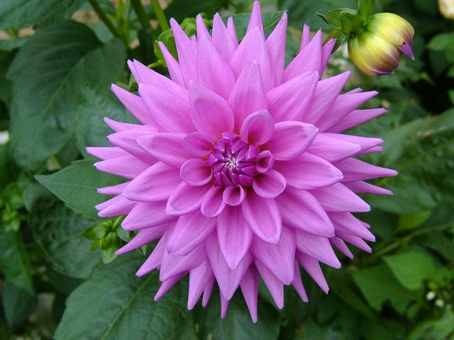http://www.aphotoflora.com/images/asteraceae/dahlia_hybrid_flower_pink_04_1.jpg