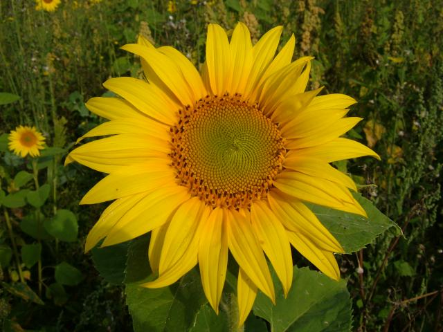 Helianthus annuus Sunflower Asteraceae Images