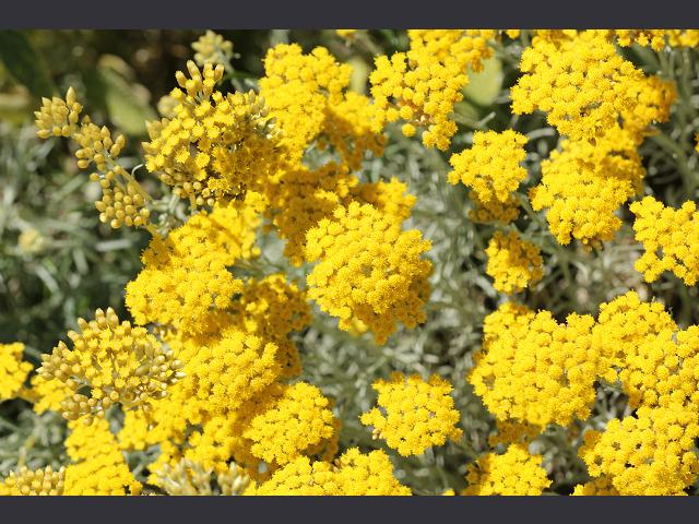 Helichrysum italicum Curry Plant Asteraceae Images