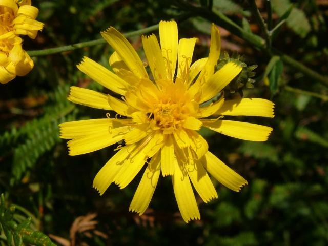 http://www.aphotoflora.com/images/asteraceae/hieracium_umbellatum_hawkweed_flower_29-08-04.jpg