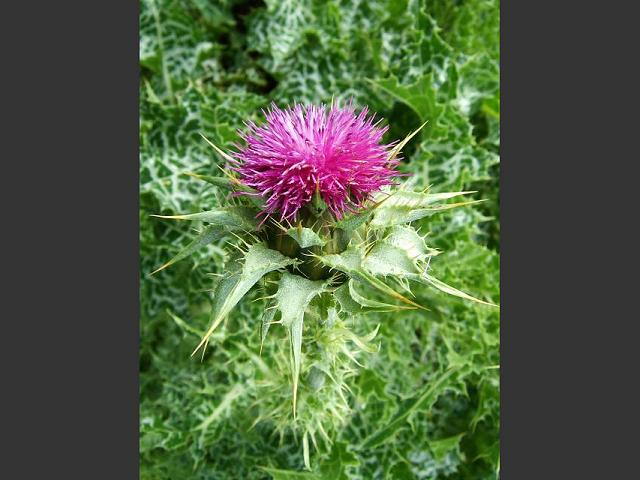 Silybum marianum Milk or Our Ladys Thistle Asteraceae Images