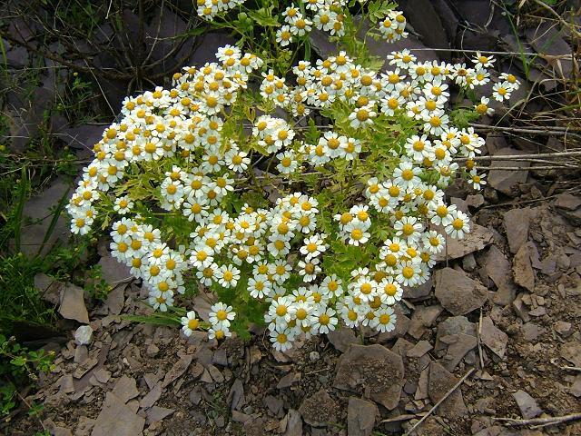 feverfew plant - photo #49