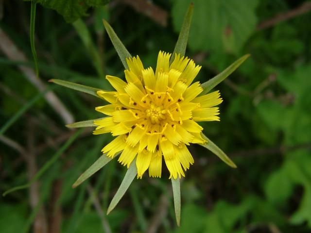 [Survival] Prairies: plantes Tragopogon_pratensis_goats_beard_jack_go_to_bed_at_noon_00_flower_25-05-04