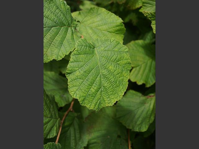 Corylus avellana - Hazel (Betulaceae Images)
