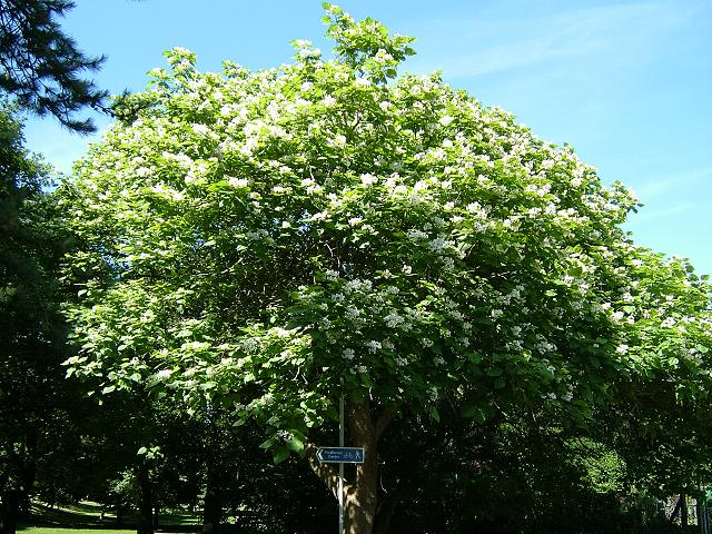 catalpa bignonioides indian bean tree bignoniaceae images. Black Bedroom Furniture Sets. Home Design Ideas
