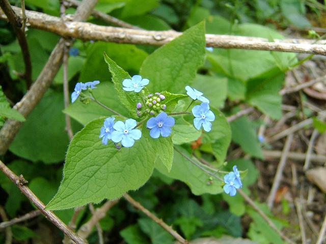 Brunnera Macrophylla Great Forget Me Not Boraginaceae