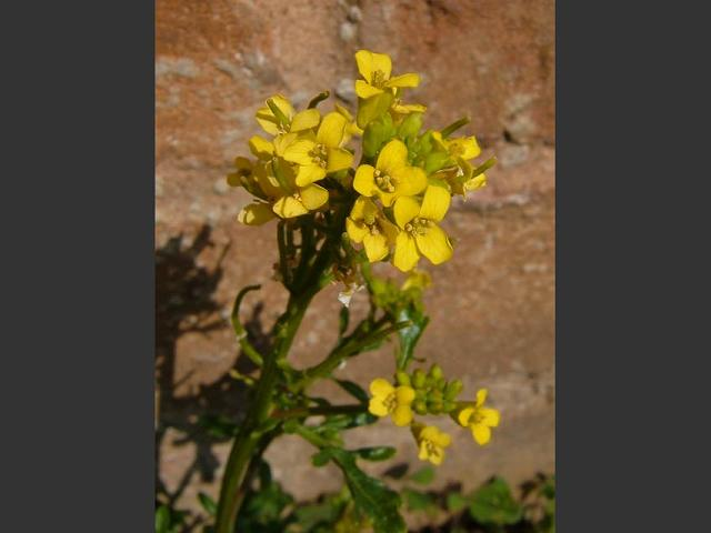 Barbarea intermedia Medium flowered Winter Cress Brassicaceae Images