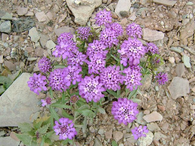 Image result for iberis umbellata