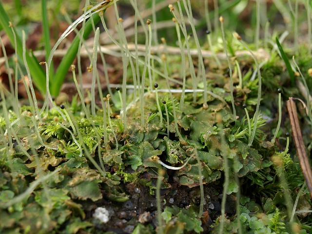 Pellia epiphylla Overleaf or Common Pellia Liverwort Images