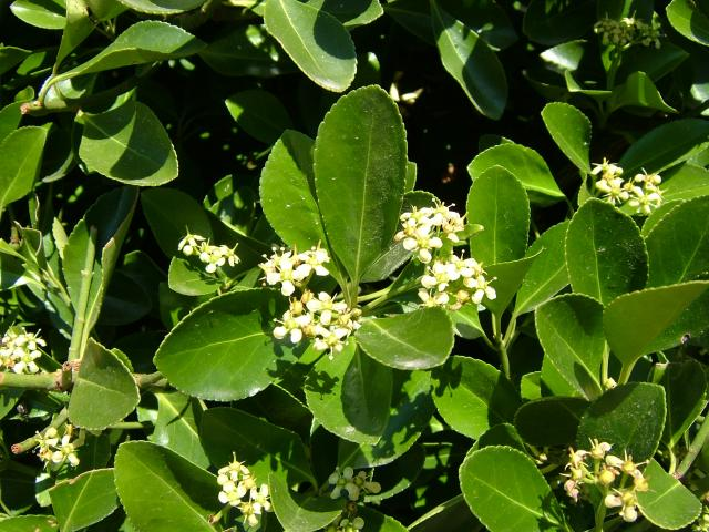 euonymus japonicus japanese spindle celastraceae images. Black Bedroom Furniture Sets. Home Design Ideas