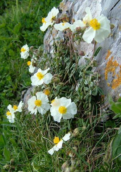 Cornwall Council - The Cornish Heath - County Flower