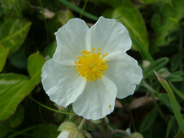 Helianthemum Apenninum White Rock Rose Cistaceae Images