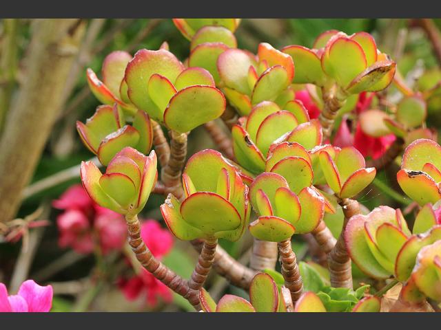 Crula Ovata Jade Plant Or Money Crulaceae Images