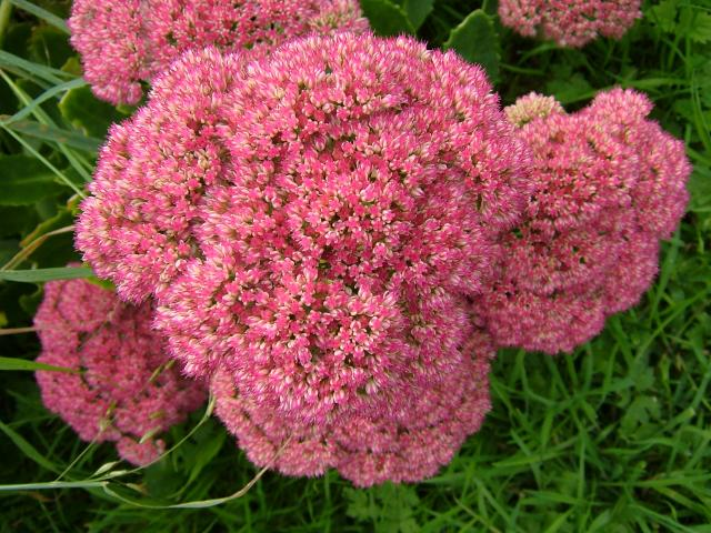 Sedum spectabile Ice Plant or Butterfly Stonecrop Crassulaceae Images