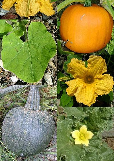 Family Index for Cucurbitales Cucumbers Marrows Melons and Begonias