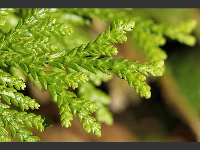 Thuja plicata western red cedar cupressaceae images