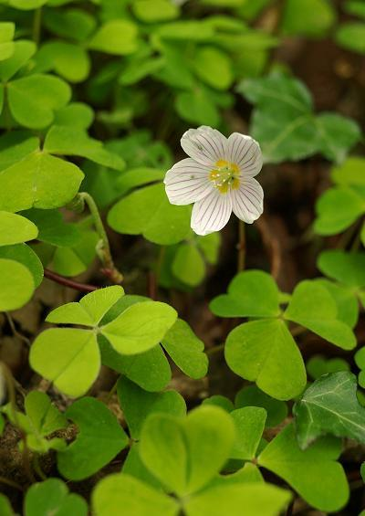 Oxalidaceae Wood Sorrel Family Oxalidaceae Images