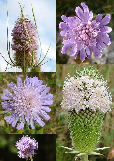 Family Index for Dipsacales Teasel Scabious Valerian