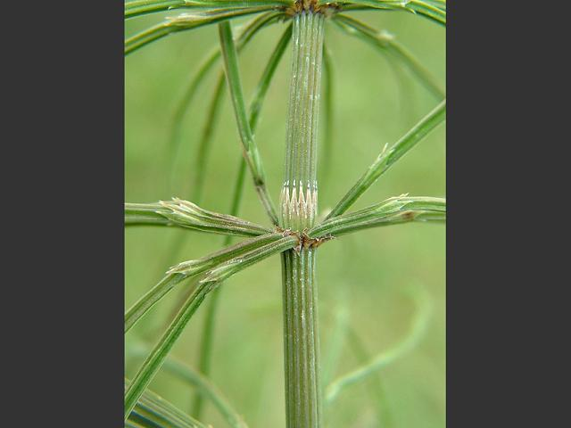 how to kill field horsetail weed