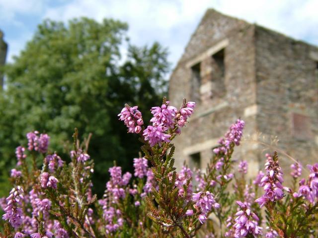 Calluna vulgaris heather ericaceae images for Calluna vulgaris