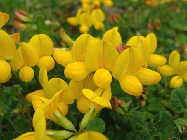 Lotus Corniculatus Common Bird S Foot Trefoil Fabaceae