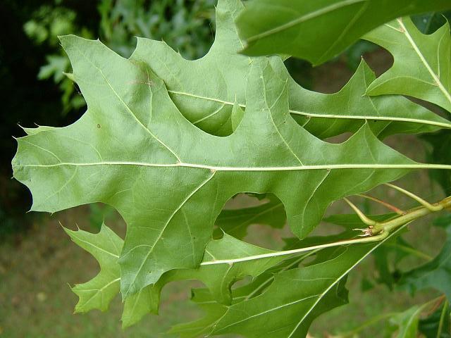 Quercus rubra red oak fagaceae images