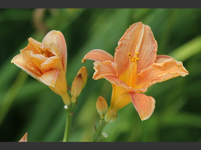 Hemerocallis fulva Orange Day Lily Hemerocallidoideae Images