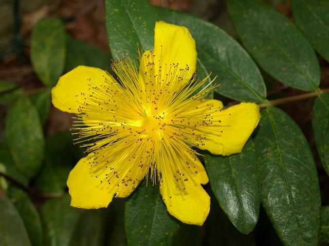Hypericum Calycinum Rose Of Sharon Hypericaceae Images