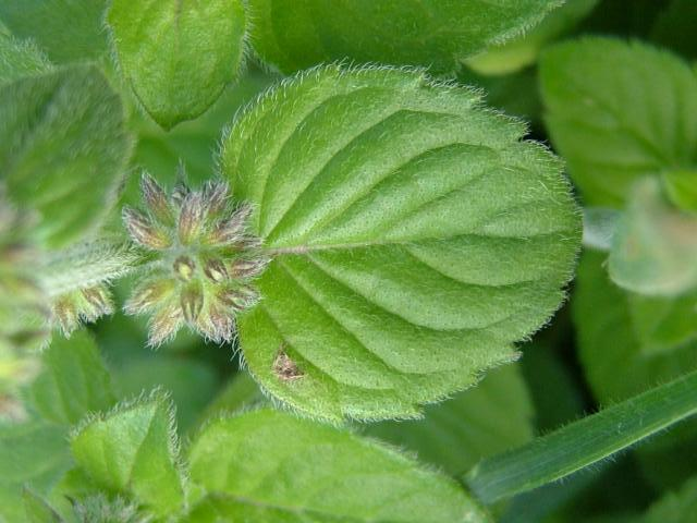 Mentha aquatica - Water Mint (Lamiaceae Images)