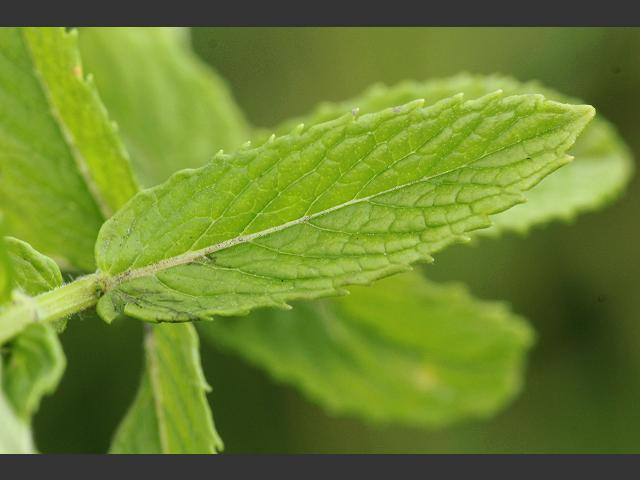 Mentha spicata Spear Mint Spearmint leaves Lamiaceae Images