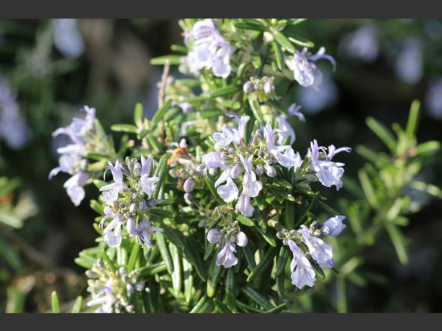 Rosmarinus officinalis Rosemary Lamiaceae Images