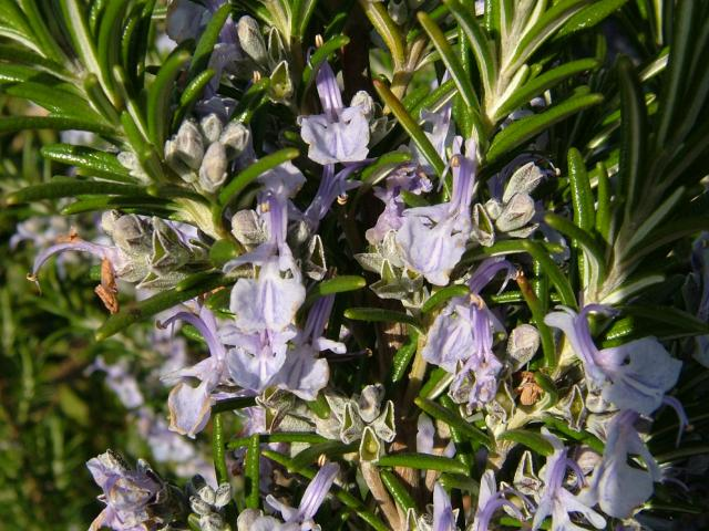 external image rosmarinus_officinalis_rosemary_flowers_19-04-04.jpg