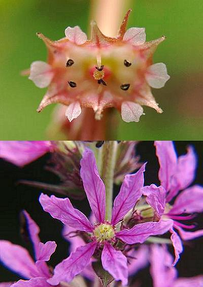 Family Index for Myrtales Loosestrife Willowherb Myrtle