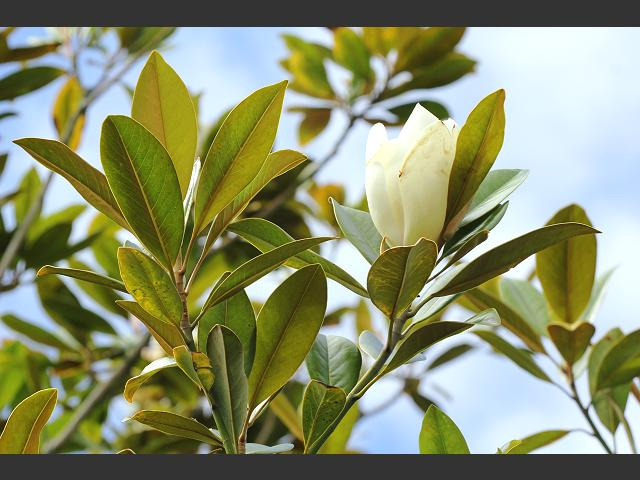 Magnolia grandiflora 39 exmouth 39 southern magnolia - Magnolia grandiflora ...