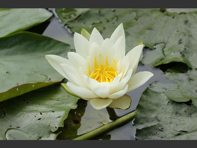 Nymphaea alba White Water Lily Water Lily Images