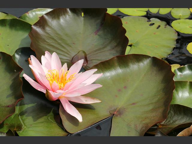 Nymphaea Garden Hybrid Water Lily or Lilies Water Lily Images