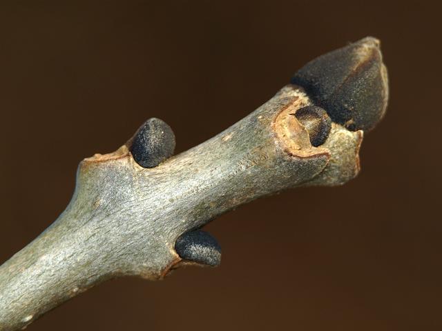 Fraxinus excelsior Ash Oleaceae Images