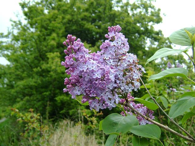 Syringa vulgaris lilac oleaceae images - Syringa vulgaris ...