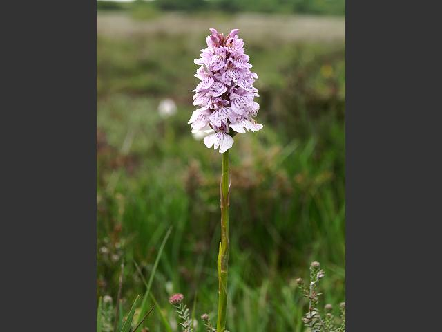 Dactylorhiza maculata subspecies ericetorum Heath Spotted Orchid Orchidaceae Images