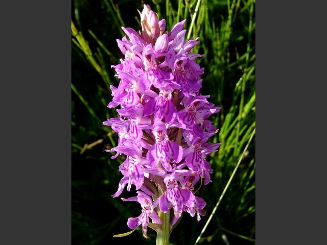 Dactylorhiza x grandis A Hybrid Marsh Orchid Orchidaceae Images
