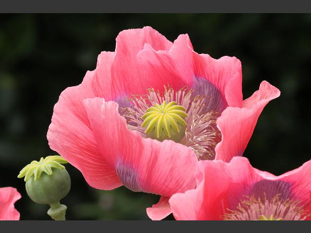 papaver somniferum opium - photo #26