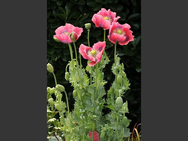 Poppy opium flower choice image flower decoration ideas papaver somniferum opium poppy papaveraceae images opium poppy papaver somniferum flowers 1 mightylinksfo mightylinksfo