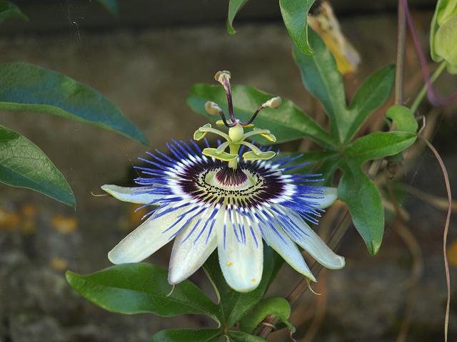 passiflora caerulea a passion flower passifloraceae images. Black Bedroom Furniture Sets. Home Design Ideas